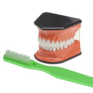 Model & Brush Set (Green Brush)